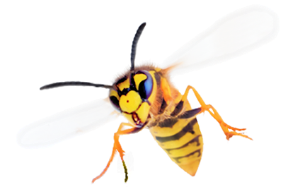Pest Solutions Plus - Wasp1